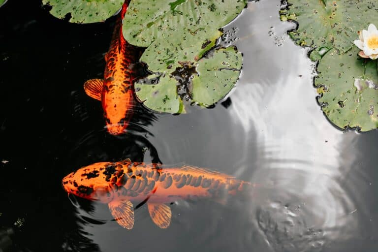 Breeding Koi Must Be The New Black