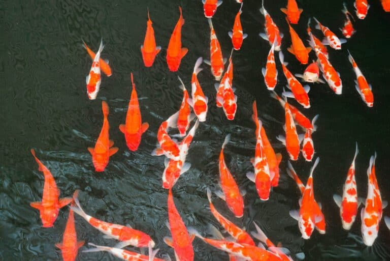 A Quick Guide to Koi Breeding