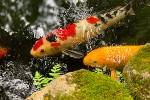 Koi Ponds Are Beautiful But Should You Build One